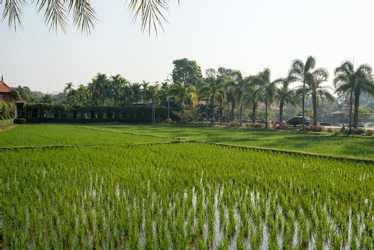 Paddy Field 12 of 30