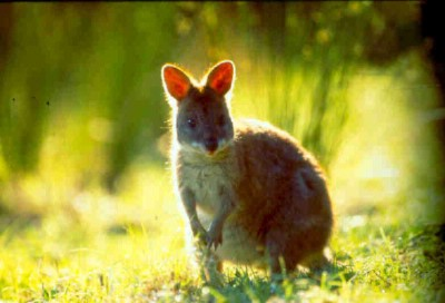 Pademelon 12 of 16