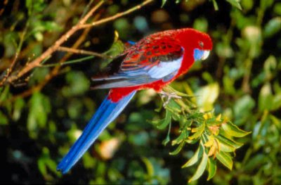 Crimson Rosella 6 of 16