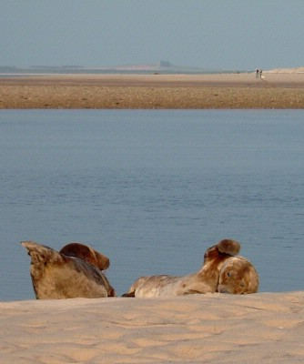 Seals On Findhorn Beach 5 of 5