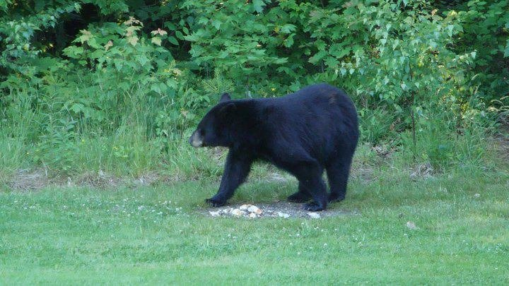 Maine Black Bear 16 of 16