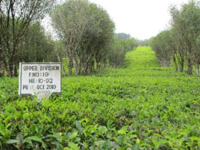 Mid Country Tea Plantation 3 of 12