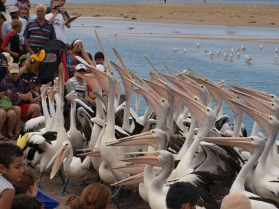 Daily Pelican Feeding 13 of 15