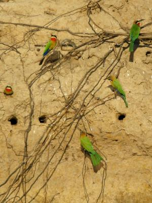 Bee-Eaters On The River Bank 11 of 16