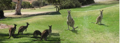 Kangaroos On Golf Course 3 of 17