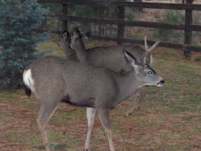Two Of The Many Mule Deer Who Visit Daily 11 of 11