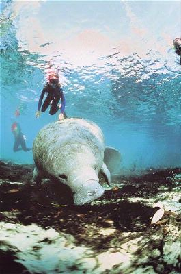 Dive And Swim With The Gentle Manatees 17 of 23
