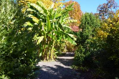 Large Banana Trees 13 of 15