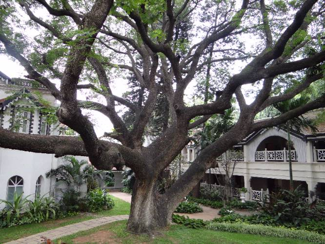 The 150 Years Old Rain Tree 3 of 7