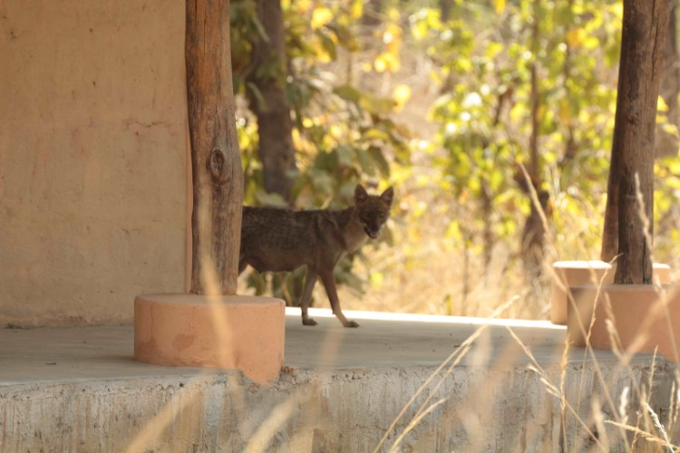 Jackal Near The Private Bungalow 7 of 21