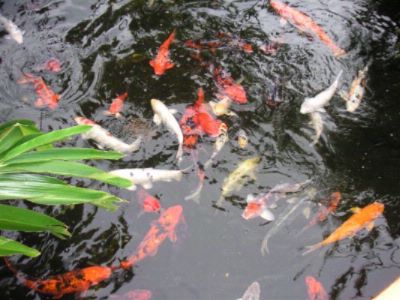 Koi Fish In The Pond -Great Picture Area! 12 of 24