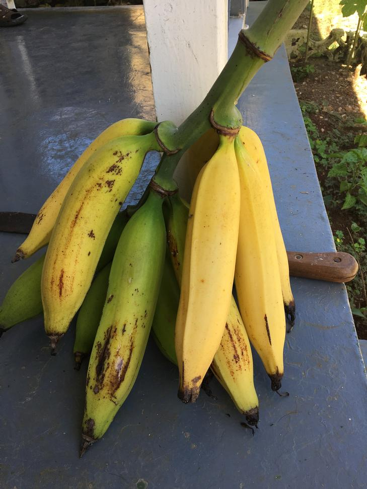 Plantains Grown Right On The Grounds 38 of 49