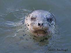 These Harbor Seals Are Often Seen Frolicing In Town. 9 of 11