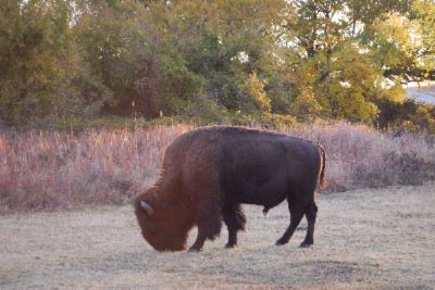 Check Out The Buffalo In The Wichita Mountian Refuge 4 of 6