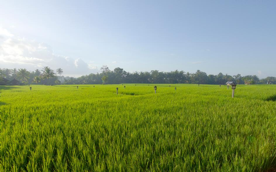 Rice Paddy 12 of 31