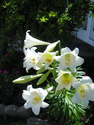 Easter Lillies In Bloom At Lobby 24 of 26