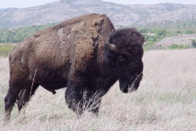 Enjoy Oklahoma Wildlife At The Wichita Mountains 10 of 13