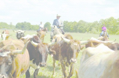 Cattle Drive 4 of 8