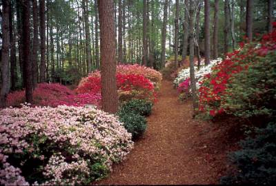 Acres And Acres Of Beautiful Azalea Await You At Callaway Gardens! 2 of 12