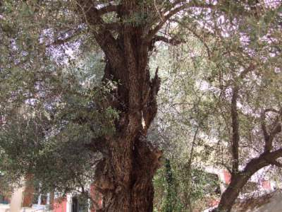 Nafplio Old Olive Tree 25 of 28