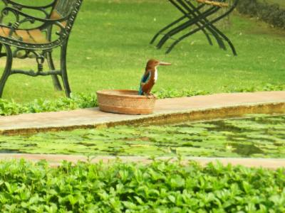 Kingfisher Pays A Visit At Lotus Pond 3 of 31