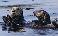 Nearby Sea Otters 3 of 7