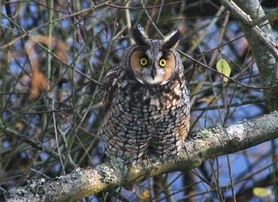 Rare Species Long Eared Owl 4 of 14