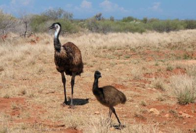 Resident Emu Family 14 of 15