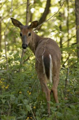 White-tailed Deer In Shenandoah National Park 9 of 11