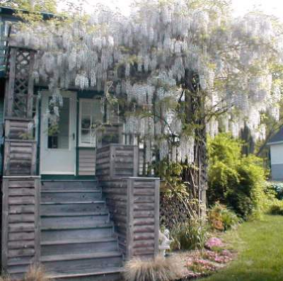 Wisteria Covers The Porch Entrance 21 of 26