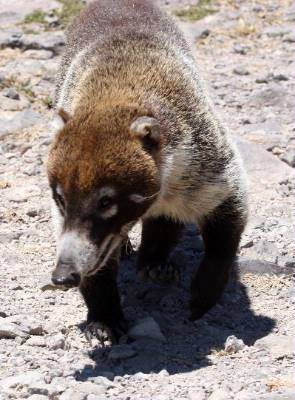 Wildlife At Sugar Beach: Coati Mundi 8 of 14