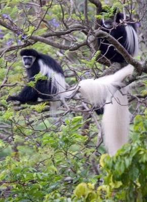 Several Troops Of Colobus And Sykes Monkeys Live In The Forest 14 of 18