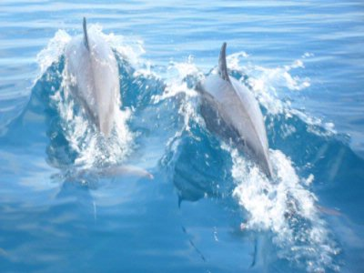 2 Resident Pods Of Spinner Dolphins 10 of 16