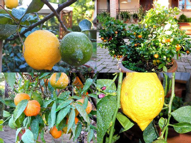 Citrus Plants In The Garden 22 of 23